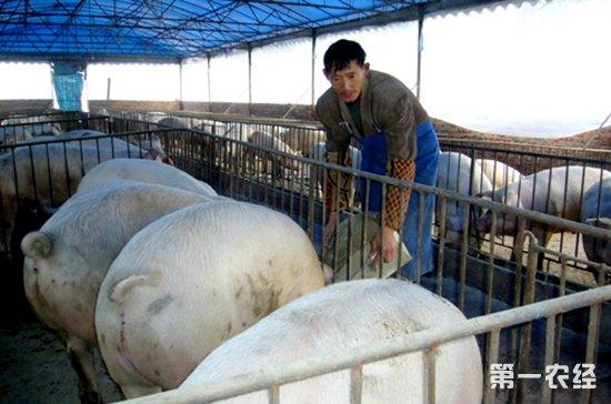 山东聊城:猪粪请进沼气池 生态养猪增收益