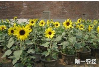 怎么用花盆种欣赏性向日葵?
