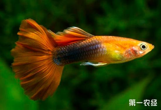 孔雀鱼是一种常见的热带观赏鱼