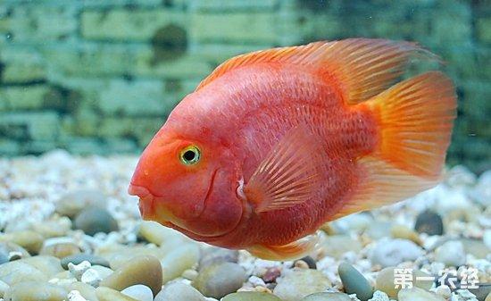 鹦鹉鱼常见病及治疗方法