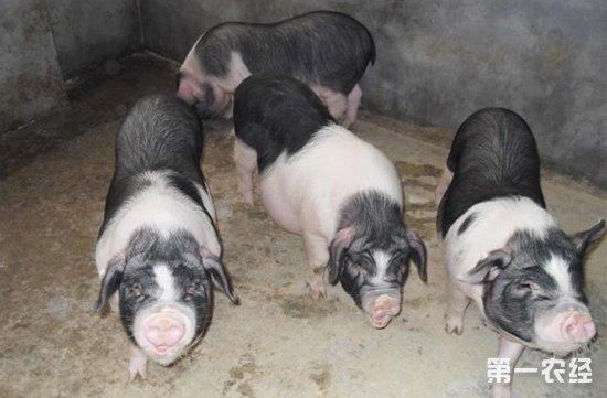 """宁乡花猪原产于我国著名的四大生猪之一,已拥有近1500多年养殖历史。拥有很高的看病性,同时,血脉纯正,口感原汁原味,被誉为""""健康猪肉""""   宁乡花猪特点:   因其全身黑白花毛色,故俗名""""花猪子"""", 具有适应性广、早熟易肥、蓄脂力强、肉质鲜嫩等特点。宁乡花猪肉含有丰富的营养,经权威部门检测表明:宁乡土花猪除了含有大量钾、钙、钠、镁、铜、锌等40余种人体必需的营养元素之外,有机营养成分含量也非常丰富,如:肌肉脂肪、亚油酸、a-亚麻酸、油酸、不饱和脂肪酸、必需氨基"""