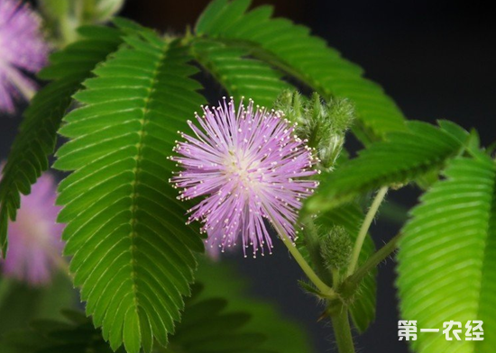 含羞草的特点,含羞草的花语,含羞草种植,含羞草