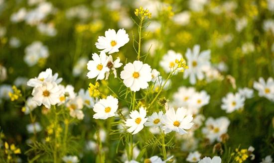 小雏菊的花语是什么?小雏菊怎么种?