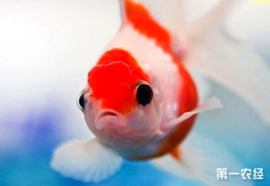 如直径为26厘米,高为13厘米的圆形玻璃缸,可养4~6厘米的小金鱼4~6尾