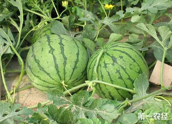 早佳(8424)西瓜种植,西瓜种植
