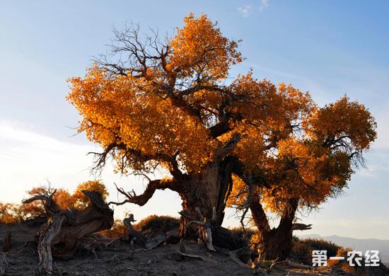 胡杨是生长在沙漠中的唯一乔木树种,具有极强的抗干旱,耐