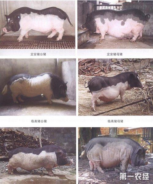 海南猪是海南岛地区的主要当家品种