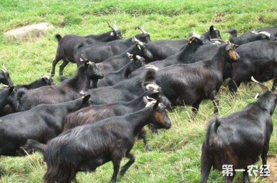 四川凉山特产:会东黑山羊(图片)