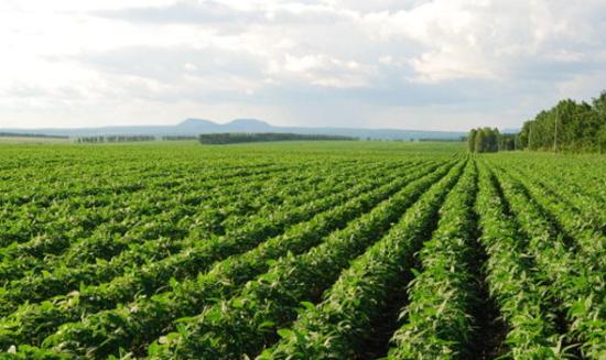 如何消除杂草对豆田的危害?