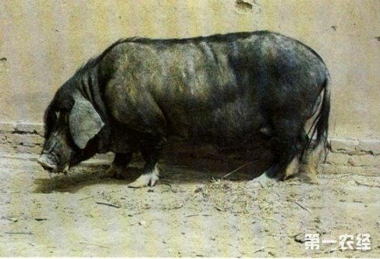 河西猪是我国优良的地方猪种之一,因原产于甘肃河西而得名,已拥有4000多年的养殖历史。因体型小,体质结实,耐粗饲,耐寒而著称。   河西猪   产地(或分布):甘肃省。   数量:1986年有繁殖母猪44万头。   地理分布   河西猪主要分布于河西走廊的武威、张掖、酒泉三个地区和20个县市的农业区与浅山区。   主要特性:体型小,结构紧凑,皮薄骨细,外形清秀,颈长而单薄,耆(qi)甲明显突起,背窄胸浅,背凹,肋骨弓圆,腹大下垂,臀部倾斜,后肢较前肢高,体型略呈前小后大的梯形。被毛黑色和黑白花多,具有