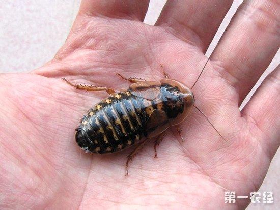杜比亚蟑螂吃什么,蟑螂吃什么,杜比亚蟑螂养殖
