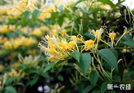 山银花与金银花的区别,山银花,金银花