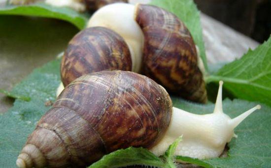 蜗牛结核病如何防治? - 动物医学 - 第一农经网