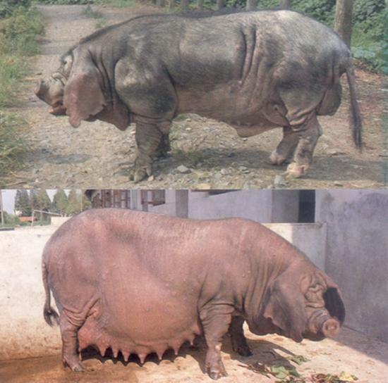 太湖猪品种:枫泾猪(图片)