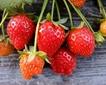 鄂尔多斯:村民电商卖草莓刷出一条致富路