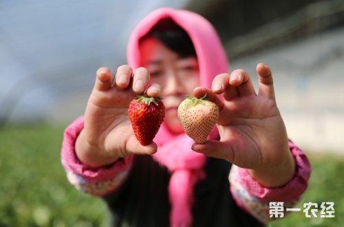 """辽宁大连:""""白雪草莓""""打开致富路  600元/公斤"""