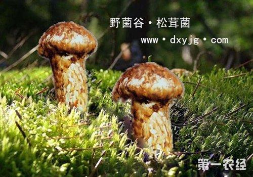 内蒙古赤峰红山区特产:松口菇(图片)