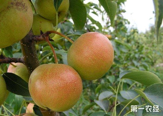 辽宁抚顺清原特产:红南果梨(图片)