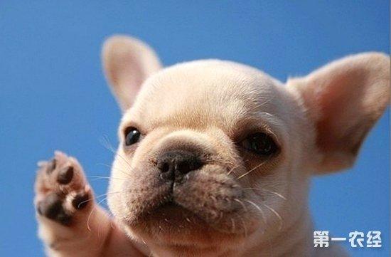 巴哥犬和斗牛犬的区别,巴哥犬,斗牛犬,斗牛犬的特点