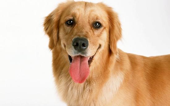 金毛犬好养吗?金毛犬怎么养?