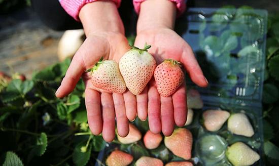 小白草莓的种植方法