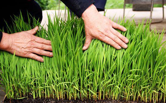 水稻苗期常见病害及防治方法