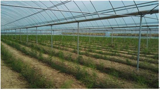 河南灵宝:引进法国新品种芦笋