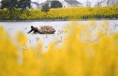 江苏嘉兴:十亩水塘种植莲藕