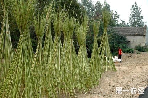安徽六安裕安区特产:大麻(图片)
