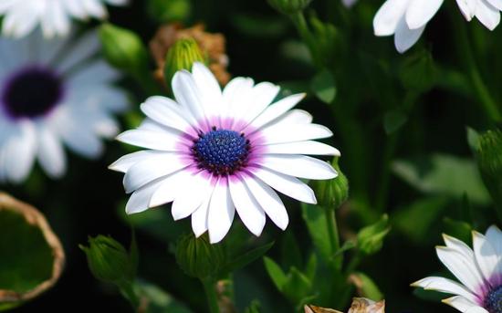 波斯菊什么时候播种?