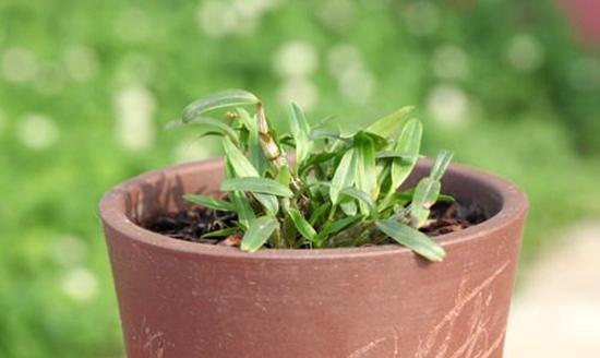 铁皮石斛种植:铁皮石斛盆栽种植方法