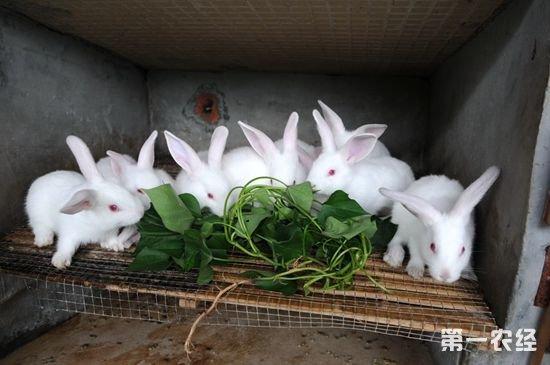 兔子兔子养殖场设计图-【专家解答】   1.加强营养.   无论是种公兔还是种母兔,都应保持中