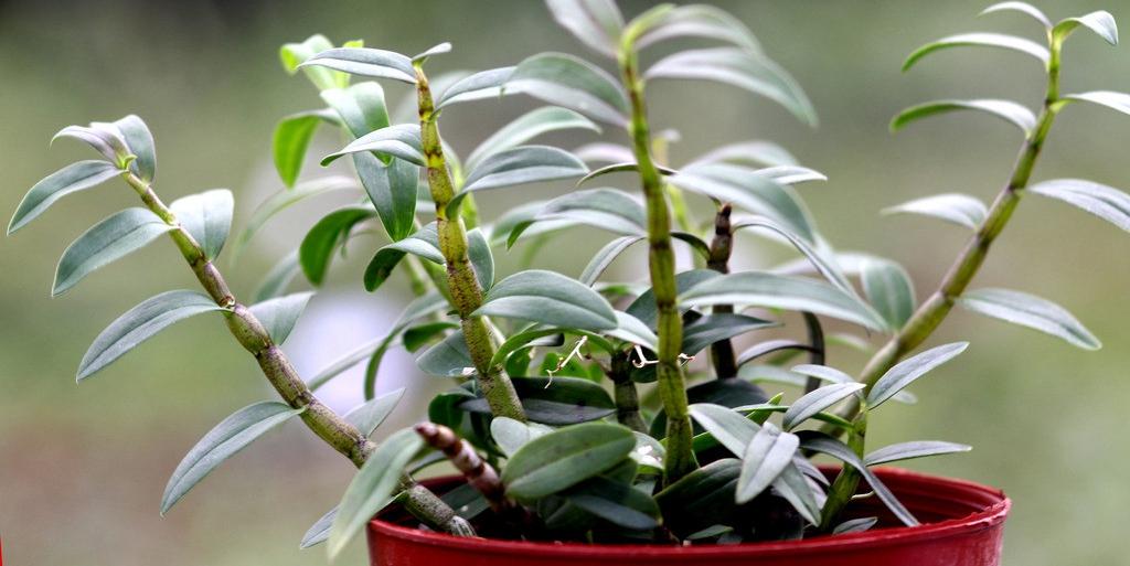 铁皮石斛盆栽怎么养?