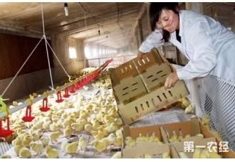 養雞場育雛舍的幾點建設要求