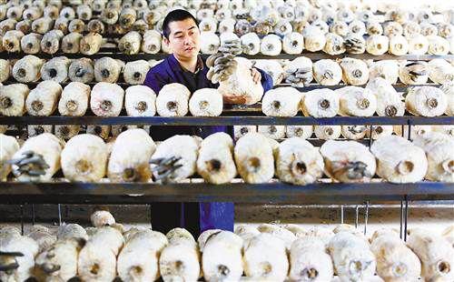 重庆北碚区:食用菌园平菇长势喜人