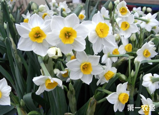 水仙花,水仙花开花后,水仙花开花后如何处理,水仙花养殖