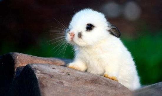 海棠兔的寿命多长?
