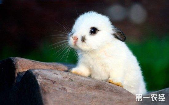 海棠兔,侏儒海棠兔,熊猫兔,海棠兔的寿命