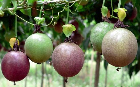 百香果是什么?百香果种植方法