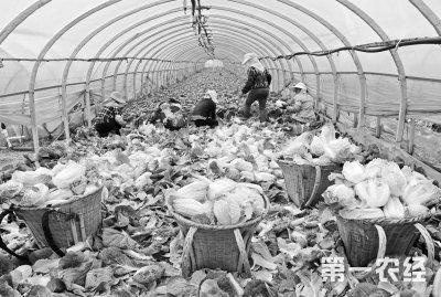 云南寻甸:高原蔬菜铺就致富路 年产值近3亿元