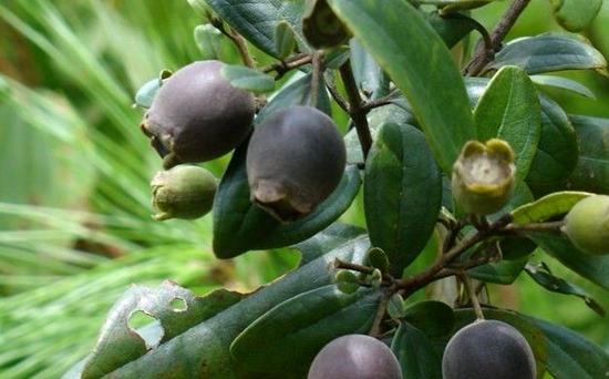 桃金娘种植:桃金娘的繁殖方法