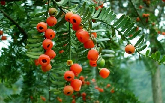 红豆杉种子怎么种?红豆杉种子育苗技术