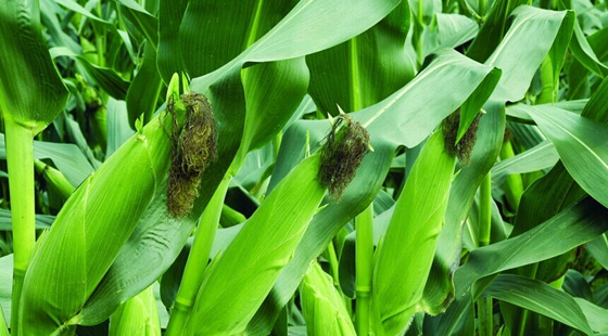 调减玉米种植面积势在必行  涉农金融机构必须早做准备