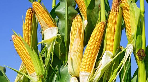 2016玉米临储改革  减少玉米替代物