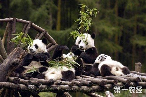 外国动物园的极少数大熊猫都属于我国政府赠送