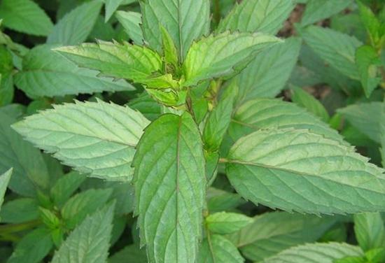 薄荷种植:薄荷的种类及图片