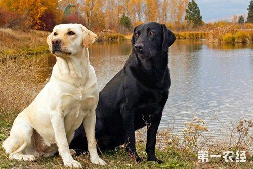 狗智商排名:最聪明的十种狗狗