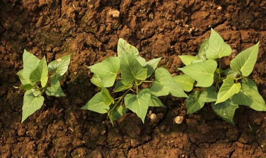 红薯什么时候种植?地瓜苗的种植季节