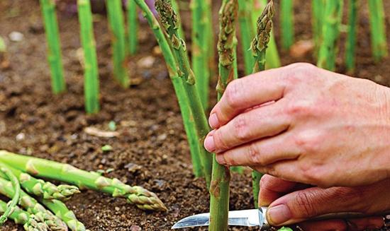 大棚芦笋种植技术