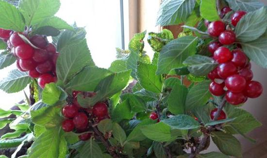 盆栽樱桃树种植方法